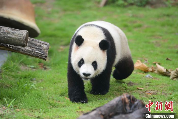 """网红熊猫""""兴安""""在园区内行走。 杨华峰 摄"""