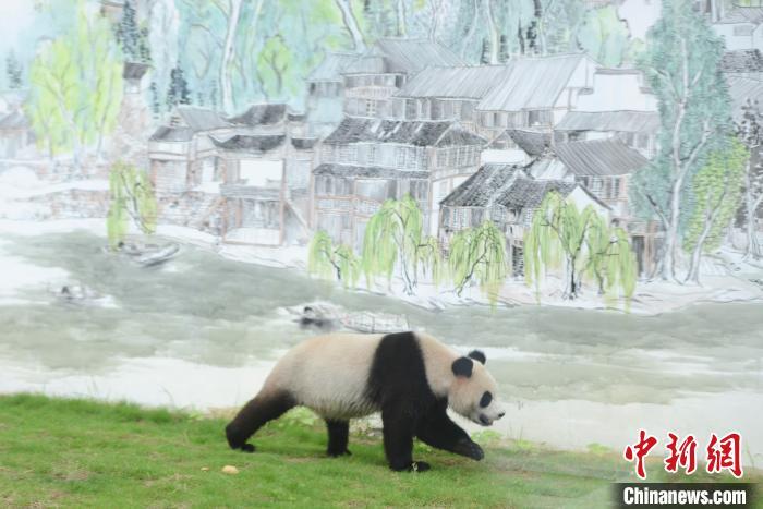 """熊猫""""京宝""""在画有凤凰古城吊脚楼的壁画前行走。 杨华峰 摄"""