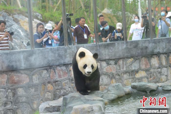 """游人与记者拍摄熊猫""""龙昇""""。 杨华峰 摄"""